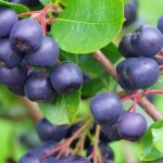 Aronia: The North American super berry with cancer fighting properties